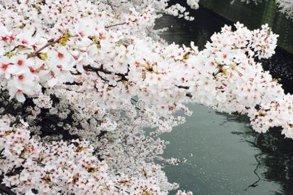 はじまりの1日、目黒川の桜を見る。